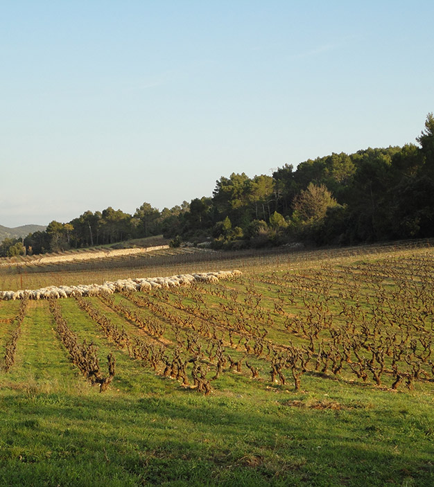 Carignan and sheeps in Winter
